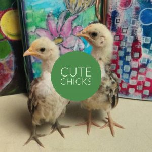 Inspire Farms Cute chicks